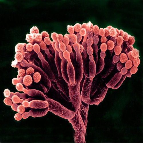 The Penicillium fungus, from which penicillin is derived.  Credit: AJ Cann | Flickr