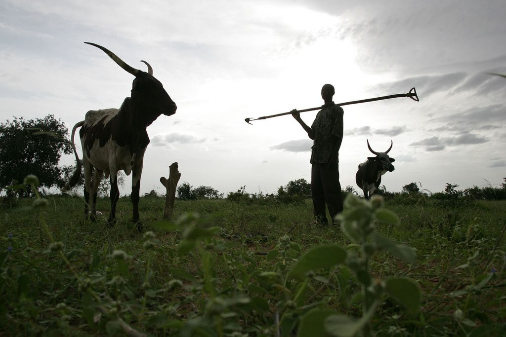 Moun Kaila of Niger has tethered his cows on his crop field to manure it before planting his millet crop (photo credit: ILRI/Stevie Mann).