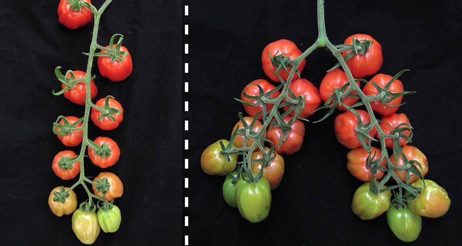 Tomato trait tussle settled at last