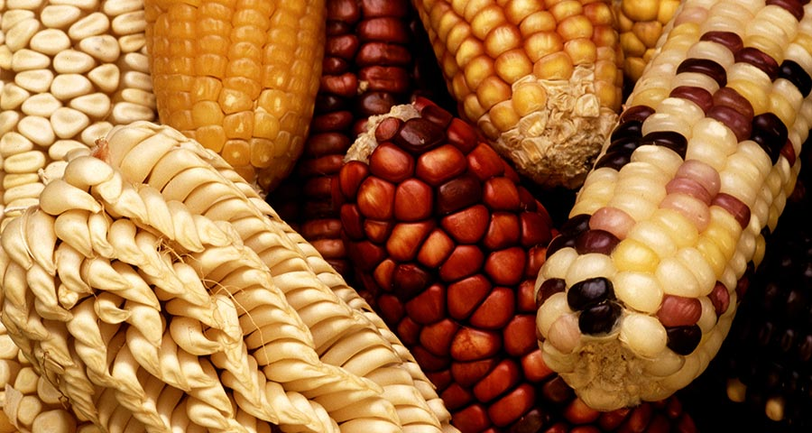 Incredibly adaptable corn can deal with climate change