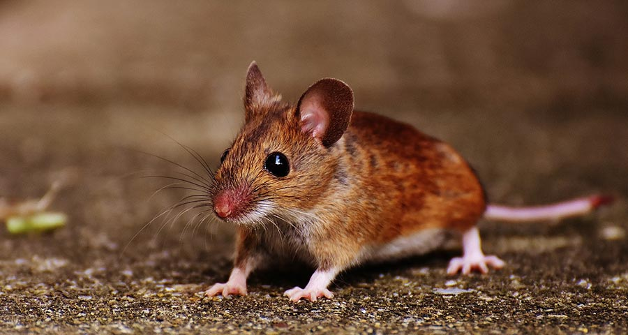 What makes male mice act like males?