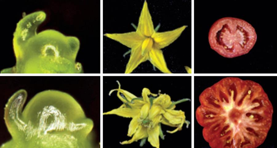 CRISPR genome editing could break crop yield barriers